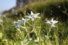 Some edelweiss flowers on a field. In the austrian mountains royalty free stock photo