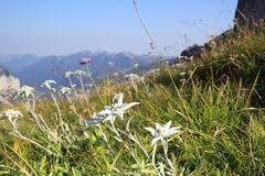 Some edelweiss flowers on a field. With mountains in background stock images
