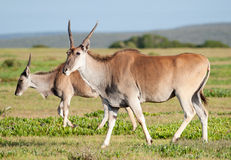 Some Eland. Two Eland with foreground Eland smiling at the camera at De Hoop nature reserve Stock Photography