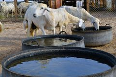 Some Ewes are stop drinking water. From the pails with motion blur and Reflection Stock Photos