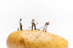 Some farmers grow a potato. On white background Stock Images