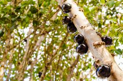 Some fat and juicy jabuticabas on the branch of a tree. Close view royalty free stock photo