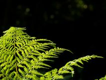 Some ferns in the forest. On a dark background Royalty Free Stock Image