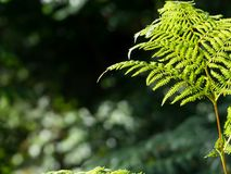 Some ferns in the forest. On a dark background Stock Image