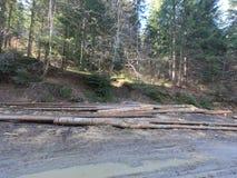Fir trees cut in the woods. Some fir trees cut in the woods, leave the path in the woods royalty free stock photos