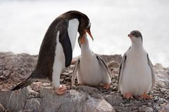 Some are first and some are second. Penguin feeding one of two youngs royalty free stock image