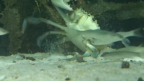 Some fish bothering a crab stock footage