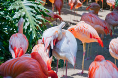 Some flamingos in the water. At Zoo of Los Angeles. California Royalty Free Stock Photos