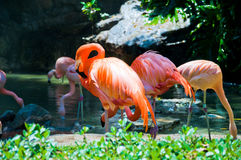 Some flamingos in the water. At Zoo of Los Angeles. California Royalty Free Stock Image