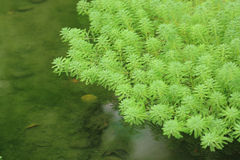 Some floating plants. On water Stock Photo