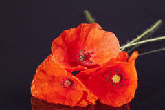 Some of the flower of red papaver isolated on black background macro.  Stock Photography