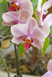 Some flowers blooming phalaenopsis orchid Stock Images
