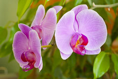 Some flowers blooming phalaenopsis orchid. Some beautiful pink flowers blooming phalaenopsis orchid Stock Photo