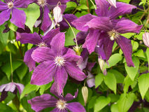 Some flowers. Clematis viticella. Stock Photography