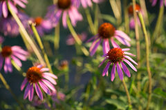 Some flowers of Echinacea purpurea or Hedgehog coneflower.  stock photo
