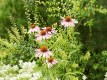 Some flowers of Echinacea purpurea. Or Hedgehog coneflower against the backdrop of greenery. Summer time, cloudy weather stock photo