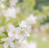 Some flowers of jasmine like a background. Some flowers of jasmine on twig like a background, spring mood royalty free stock photos