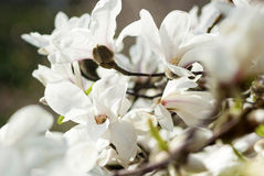 Some flowers magnolia. Several colors white magnolia on a branch royalty free stock photo