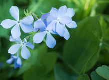 Some flowers perennial Phlox on the background of green grass. Some flowers Phlox perennial. Summer Stock Photo