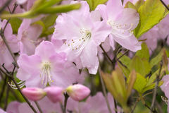 Some flowers with pink petals, rhododendrons, plant. Flowers with pink petals, rhododendrons, plant Stock Photo