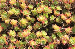 Flowers of a succulent plant. Some flowers of a succulent plant Royalty Free Stock Images