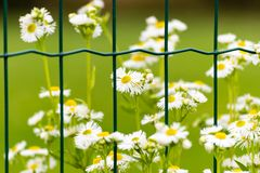 Flowers with white blooms behind the fence. Some flowers with white blooms behind green metal fence. Green meadow on background Royalty Free Stock Photos