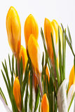 Some  flowers of yellow crocus isolated on white background. Some  spring flowers of yellow crocus isolated on white background Stock Images