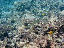 Some flute fishes above Egypt reef Stock Images
