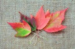 Maple leaf. Some foliage maple leaves on burlap background Stock Photography