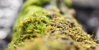 Some fragile moss on a big trunk with narrow depth of field, Pcs. Aba, Hungary Royalty Free Stock Images