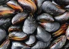 Some fresh and closed organic mussel before. Cleaningbackground royalty free stock photo