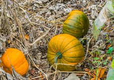 Some fresh growing squash autumn pumpkins organically cultivated for halloween. Some fresh growing squash autumn pumpkins organically cultivated in a garden for royalty free stock images