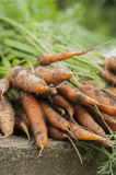 Some fresh harvested carrots on the ground. Close up Royalty Free Stock Photos
