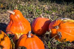 Some fresh harvested pumpkins on the field. Shine in the sun stock images