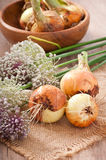Some fresh onion bulbs. And onion blossoms Royalty Free Stock Photo