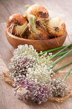 Some fresh onion bulbs. And onion blossoms Royalty Free Stock Image