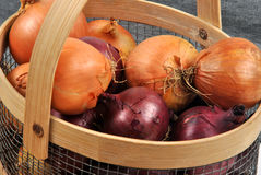 Some fresh organic onions Royalty Free Stock Photos