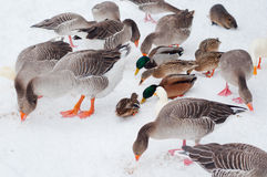 Geese and ducks eating seeds. Some geese and ducks eating seeds on snowy ground Stock Image