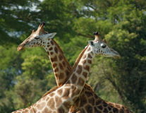 Some Giraffes in Africa. Savannah scenery including some Rothschild Giraffes in front of dark clouded sky in Uganda (Africa stock image