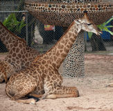 Some giraffes sit on sand. In a zoo. Giraffes very seldom sit royalty free stock images