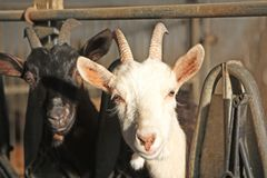 Goat in a farm. Some goat and billygoat free in a farm stock image