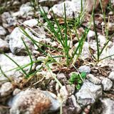 Some grass and Stones. There is a few grass between Stones Royalty Free Stock Photo