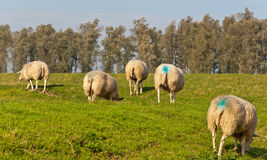 Some grazing female sheep were marked. During mating by the tethered mark block of the ram Stock Photography