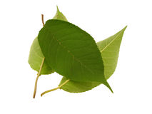 Some green beautiful leaves. Isolated on a white background Stock Images
