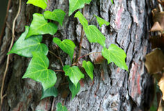 Some green ivy on a tree trunk. Selective focus on the leaves Stock Images