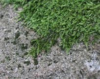 Some moss on a rock. Some green moss on a rock Royalty Free Stock Image