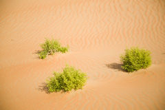 Some green plants in desert sand. Beautiful, fine sand weaves with survivor grass Stock Photo
