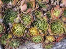 Some green succulents royalty free stock photos