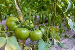 Tomato. Some green tomatoes are growing Stock Photo