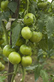 Some green tomatoes in the plant. Agriculture royalty free stock photo